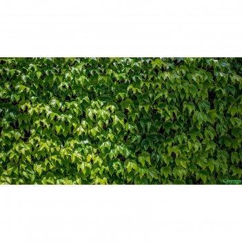 Фотобаннер, 300 x 160 см, с фотопечатью, «виноградная стена»