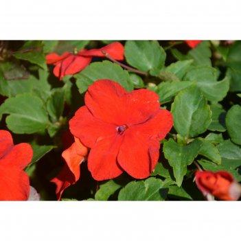 Семена цветов бальзамин уоллера супер эльфин хр пунш 1000 шт