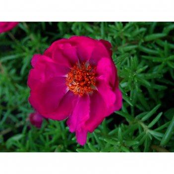 Семена цветов портулак хэппи ауэр фуксия 1000 шт